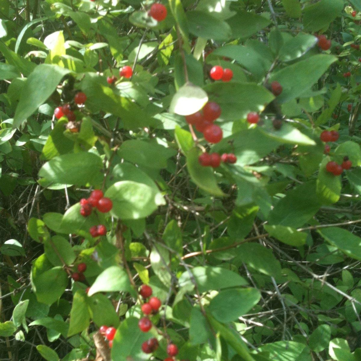 Red wild berry