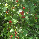 Red wild berry