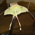 African Luna Moth