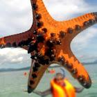 Chocolate Chip Sea Star