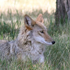 Coyote (Pups and Female)