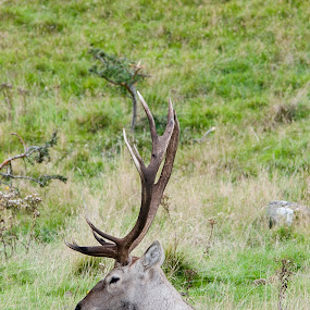 by Jacek Steplewski - Animals Other Mammals ( bukhara deer, zoo, animal, deer )