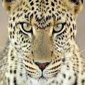 Big Cats Wallpapers