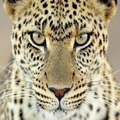 Big Cats Wallpapers
