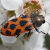 Jewel Beetle -4