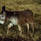 Burro. Donkey