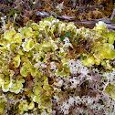 Arctic Kidney Lichen