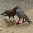 Australian Little ravens