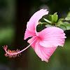 朱槿(Hibiscus rosa-sinensis)