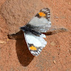 Pacific Orangetip (female)
