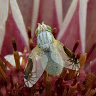 Peacock fly (fruit fly)