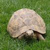 Negev Tortoise