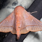 Sack-bearer Moth