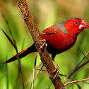 Crimson Finch ( male )
