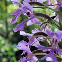 Small Purple Fringed Orchid