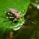 Thorny bug