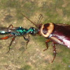 House Cockroach & Emerald Cockroach Wasp