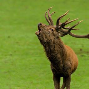 belling of the deer by Romain Bruot - Animals Other Mammals ( nature, belling, belling of the deer, animal, deer,  )