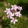 Common centaury
