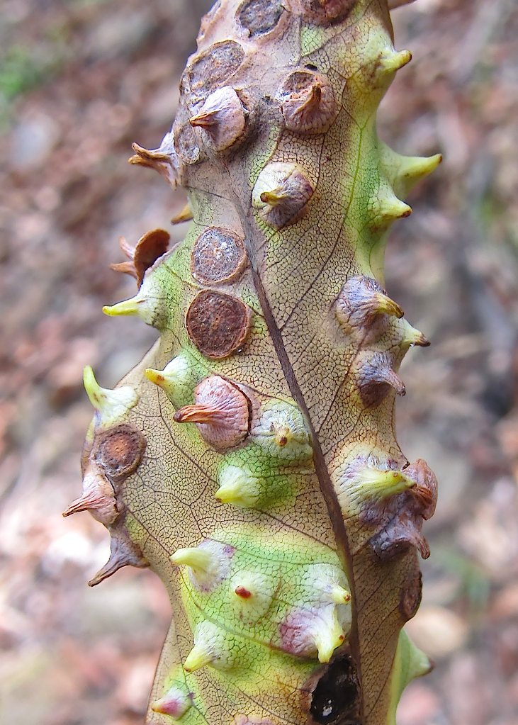 Lophostemon Prickly Leaf Galls