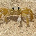 Atlantic Ghost Crabs