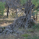Packrat nests