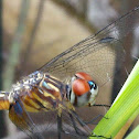 Blue Dasher Dragonfly (female)