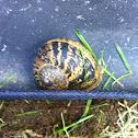 European Brown Garden Snail