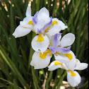 White Fairy Iris