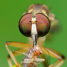 Robber Fly With Prey by Niney Azman - Animals Insects & Spiders ( rf )