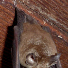 Eastern Horseshoe Bat