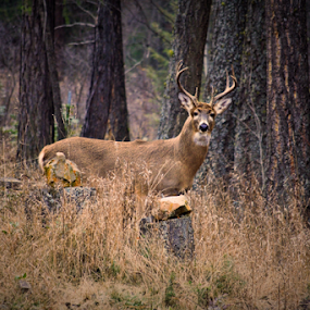 Whitetail Buck by Denise Johnson - Animals Other ( buck, wildlife, whitetail buck, deer )