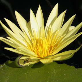 Lilly with Spider by Beverly Lee - Novices Only Flowers & Plants (  )