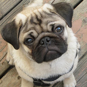Pugs Dog Wallpapers