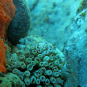 Pillow Coral