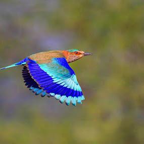 Indian Roller by Sharad Agrawal - Animals Birds ( bird, nature, udaipur, rajasthan, wildlife, india, birds, bif )