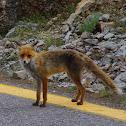 European Red fox (Αλεπού)