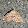 Forest Heath Moth