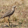 Spotted Stone Curlew