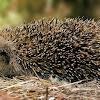 Erizo europeo (European Hedgehog)