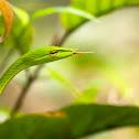 Common Vine Snake
