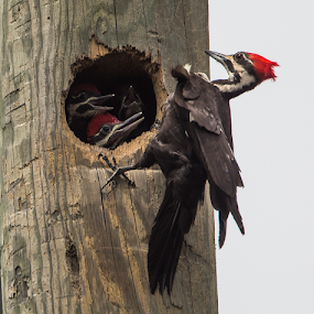 Pileated Woodpecker and Chick by Robert Strickland - Animals Birds ( bright, fauna, nice, passer, feather, birds, perched, predator, time, tree, nature, fulvus, bark, raptor, falconry, griffon, black, flower, isolated, element, wild, wing, alberta, singing, parent, prey, ants, hawk, sitting, horizontal, foraging, outdoors, owl, branch, endangered, perching, small, graphic, america, tropical, pileated woodpecker, retro, wildlife, cute, drawing, vultur, character, pileatus, berry, predatory, bilberry, oak, carrion, dryocopus pileatus, grand bend, beautifully, hole, gyps, vulture, park, vintage, wingspan, male, beautiful, plumage, pecker, feathers, haliaeetus, up, sparrow, bird, flight, hunter, wilderness, provincial, pileated, red, dryocopus, pattern, pet, background, beak, falcon, cut, garden, standing, design, studio, cartoon, wise, illustration, wisdom, shot, robin, owlet, ornithology, wings, head, fruit, eagle, symbol, canada, white, forest, habitat, winter, trunk, sweet, environment, fly, food, adorable, woodpecker, songbird, crest, floral, large, scavenger, bill, beauty, north, photography, flying, carnivore, condor, vector, ecology, redhead, animal, icon, avian, vertebrate, feet, ontario, photo, color, female, blue, brown, lambton shores, house sparrow )
