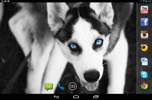 玩免費個人化APP 下載Husky Dogs live wallpaper app不用錢 硬是要APP