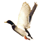 Duck Call Free icon
