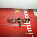 Clearwing Wasp Moth