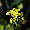 White mustard (Σινάπι)