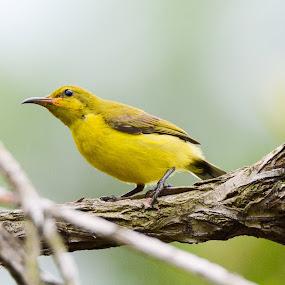 Olive-backed Sunbird (Cinnyris jugularis) by BoonHong Chan - Animals Birds ( bird, olive-backed sunbird, olive-backed sunbird (cinnyris jugularis), sunbird, park, parks, birds )