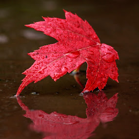 Canadian Maple by Nico Carbajales - Nature Up Close Leaves & Grasses ( fall leaves on ground, fall leaves )