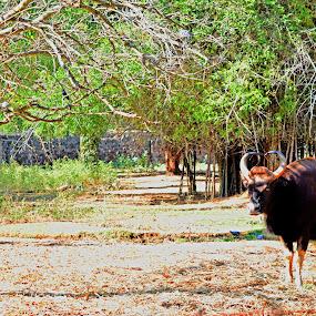 Wild Buffalo by Sheeik Mohideen P - Animals Other Mammals ( buffalo, wildlife )