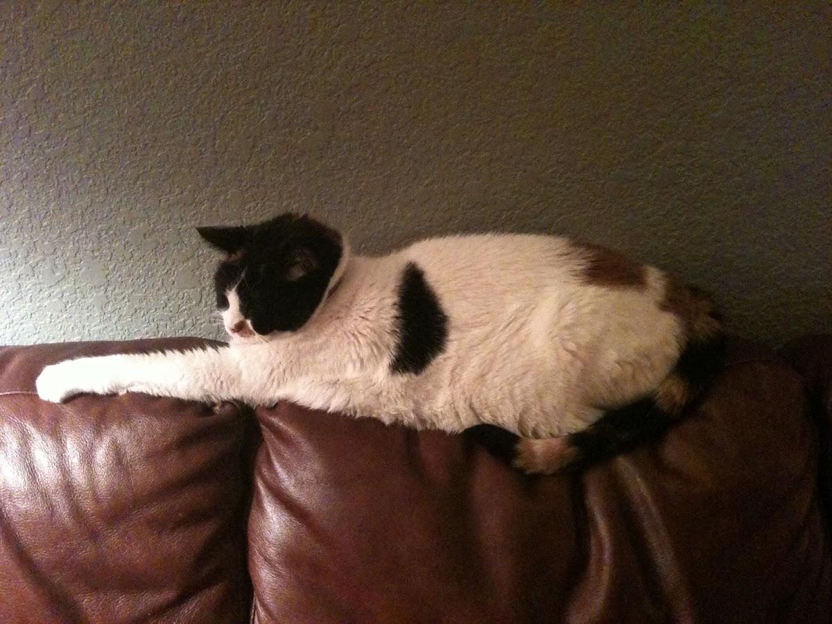 Sophie the Calico Cat